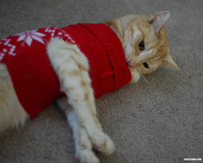 cat-in-sweater-stretching